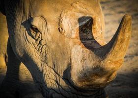nijlpaard, eten foto