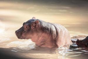 pasgeboren nijlpaard foto