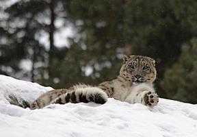 sneeuw lepard foto
