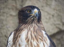 águila echt