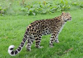 luipaard