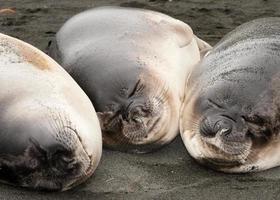 drie lachende zeeolifanten foto