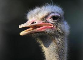 Afrikaanse struisvogel foto