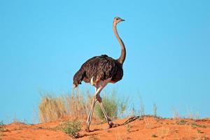 vrouwelijke struisvogel foto