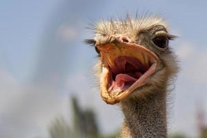 schreeuwende struisvogel foto