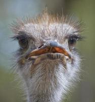 struisvogel hoofd foto