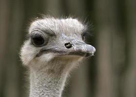 struisvogel portret foto