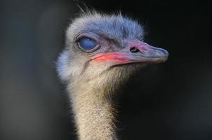 Afrikaanse struisvogel, portret foto