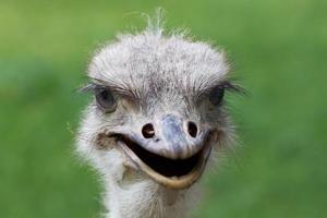 struisvogel portret macro foto