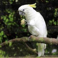 witte zwavel kuifkaketoe cacatua galerita foto