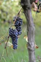 merlot druiven foto