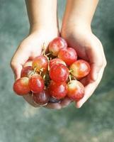 druiven oogsten, handen met vers druiven