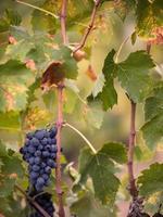 Toscaanse rode druiven en bladeren foto