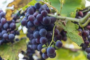 rode wijndruiven foto