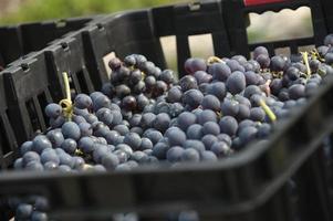 grenache druiven om wijn te maken foto