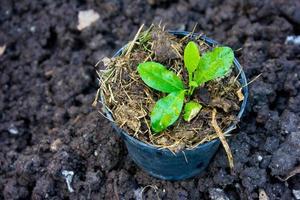 boom in pot voorbereiden om te groeien in de tuin foto