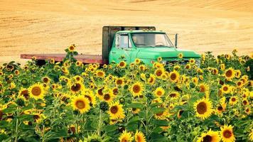 landbouw platte vrachtwagen op gebied van zonnebloemen foto