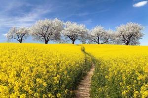 koolzaad veld met parhway en steeg van bloeiende kersenbomen foto