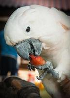 grote roze papegaai die een plakje watermeloen eet foto