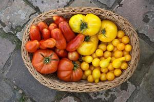 mand vol met verse tomaten foto