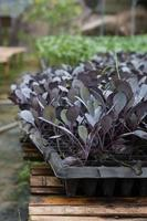 biologische hydrocultuur groene groente foto