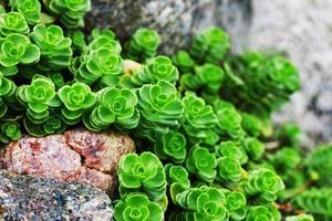 vetplant tussen rotsen foto