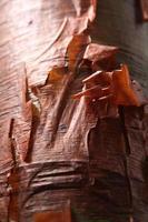 terpentijnboom (toeristenboom) foto
