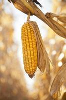 te oogsten maïs foto