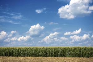 groot maïsveld foto