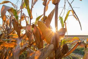 maïskolf rijp op veld achtergrondverlichting door zon te plaatsen foto