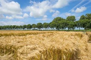 maïs groeit op een veld in het voorjaar foto