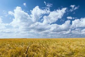 korenveld in de zomer foto