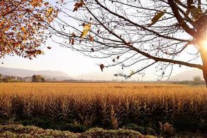 korenveld met landbouwgrond bij zonsondergang. foto