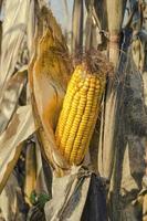 maïs close-up foto