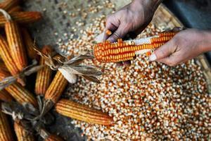 handen schoon maïs foto
