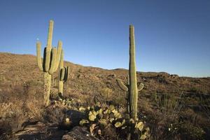 maan over Sonoran woestijncactus in het nationale park van Saguaro foto
