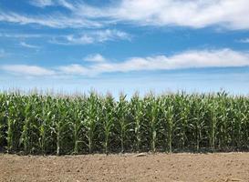 landbouw, maïsveld