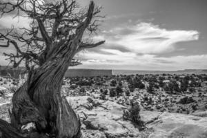 knoestige boom tegen een mesa landschap in canyonlands national park foto