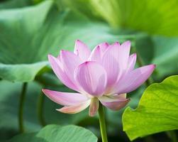 zomer bloeiende lotus