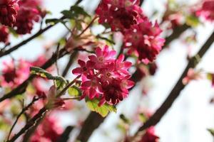 voorjaarsbloeiend foto