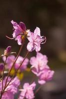 roze lente foto