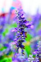 bloeiende salvia bloemen foto