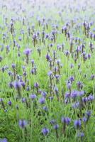 paarse salvia bloemen