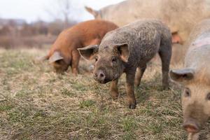 drie jonge mangulitsa-varkens op een rij