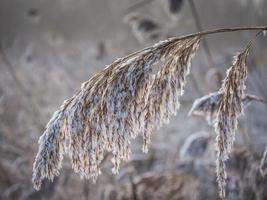 ijzig riet in de winter foto