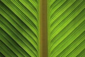groen bananenblad foto