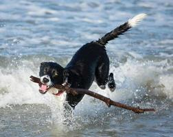 hond apporterende stok in oceaan