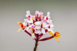 veelkleurige orchideeën gevonden op de top van de avila-berg foto