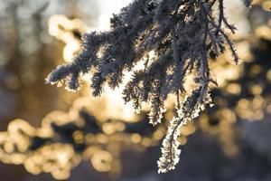 winter ijskristallen op bevroren pijnboom foto