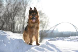 Duitse herder foto